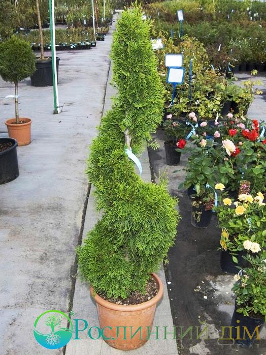 thuja occidentalis smaragd spiral smaragd