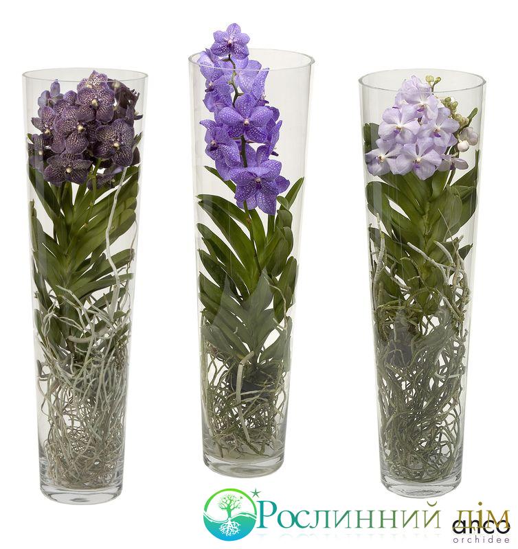 Vanda Orchid In Vase
